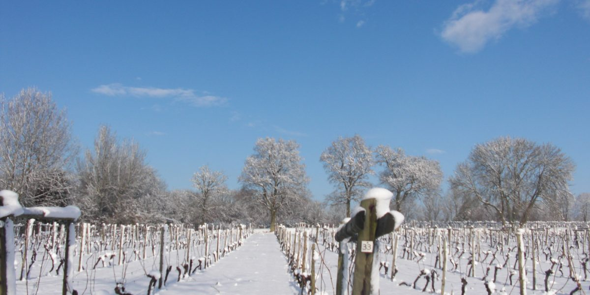 Old vines in snow